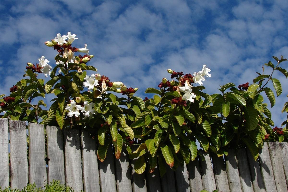 Beaumontia grandiflora near pools