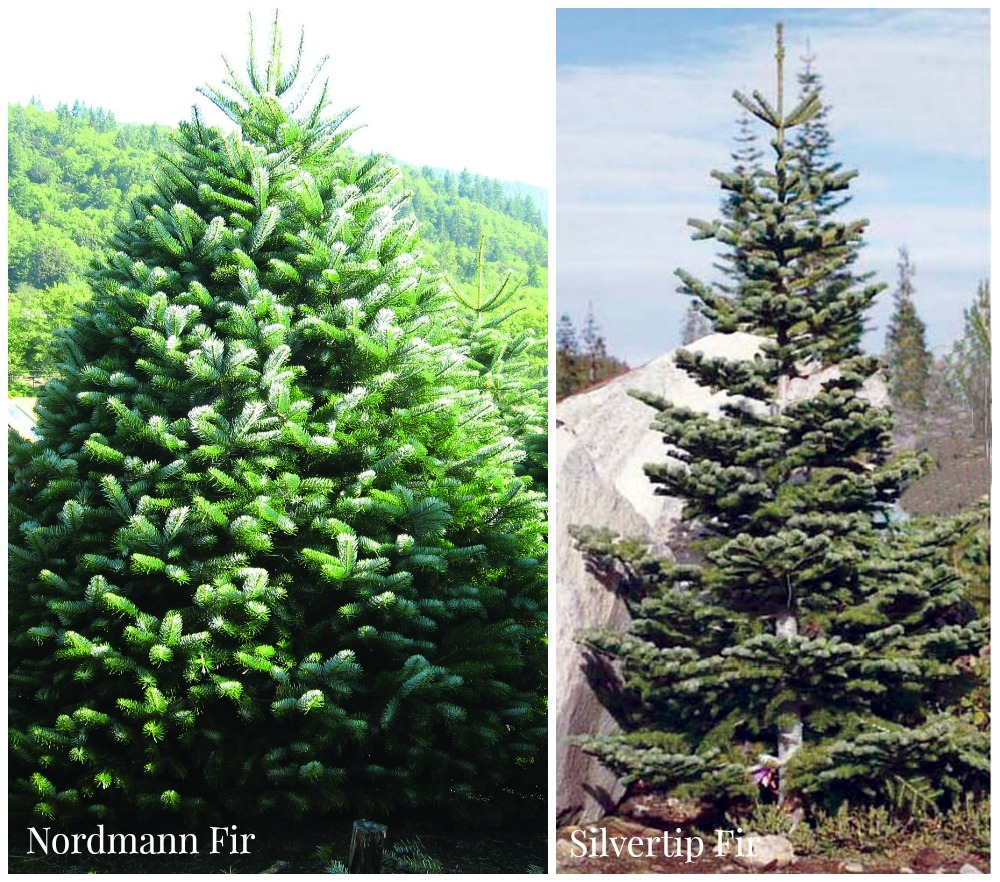 fir Christmas trees