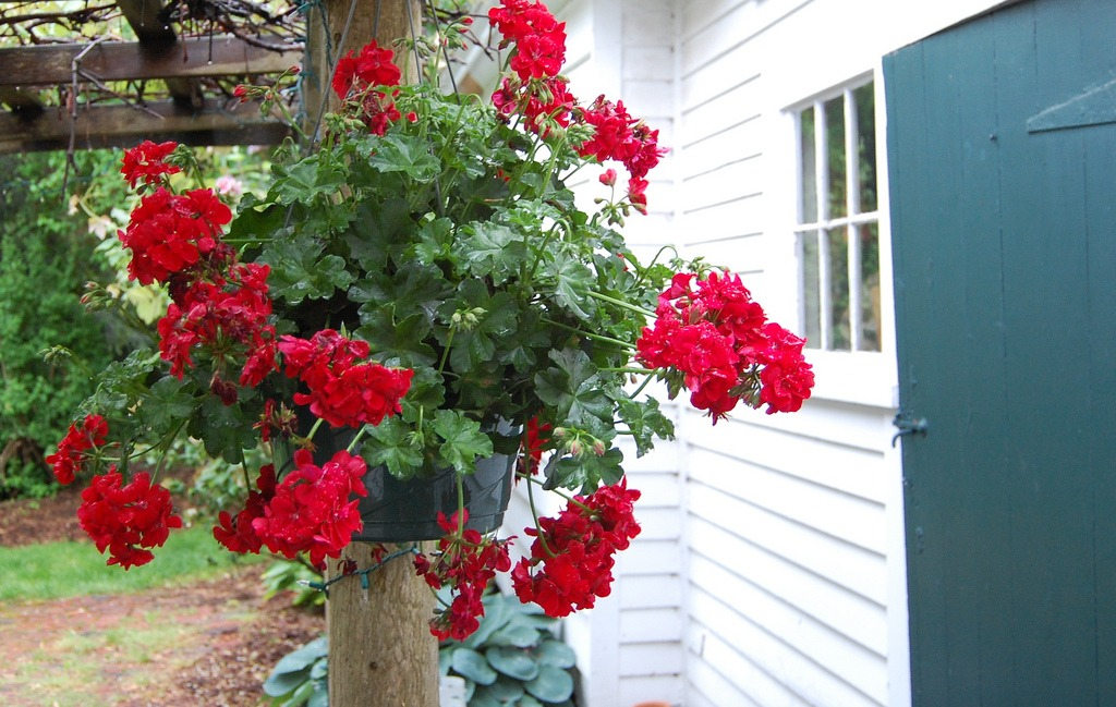 geraniums in a container