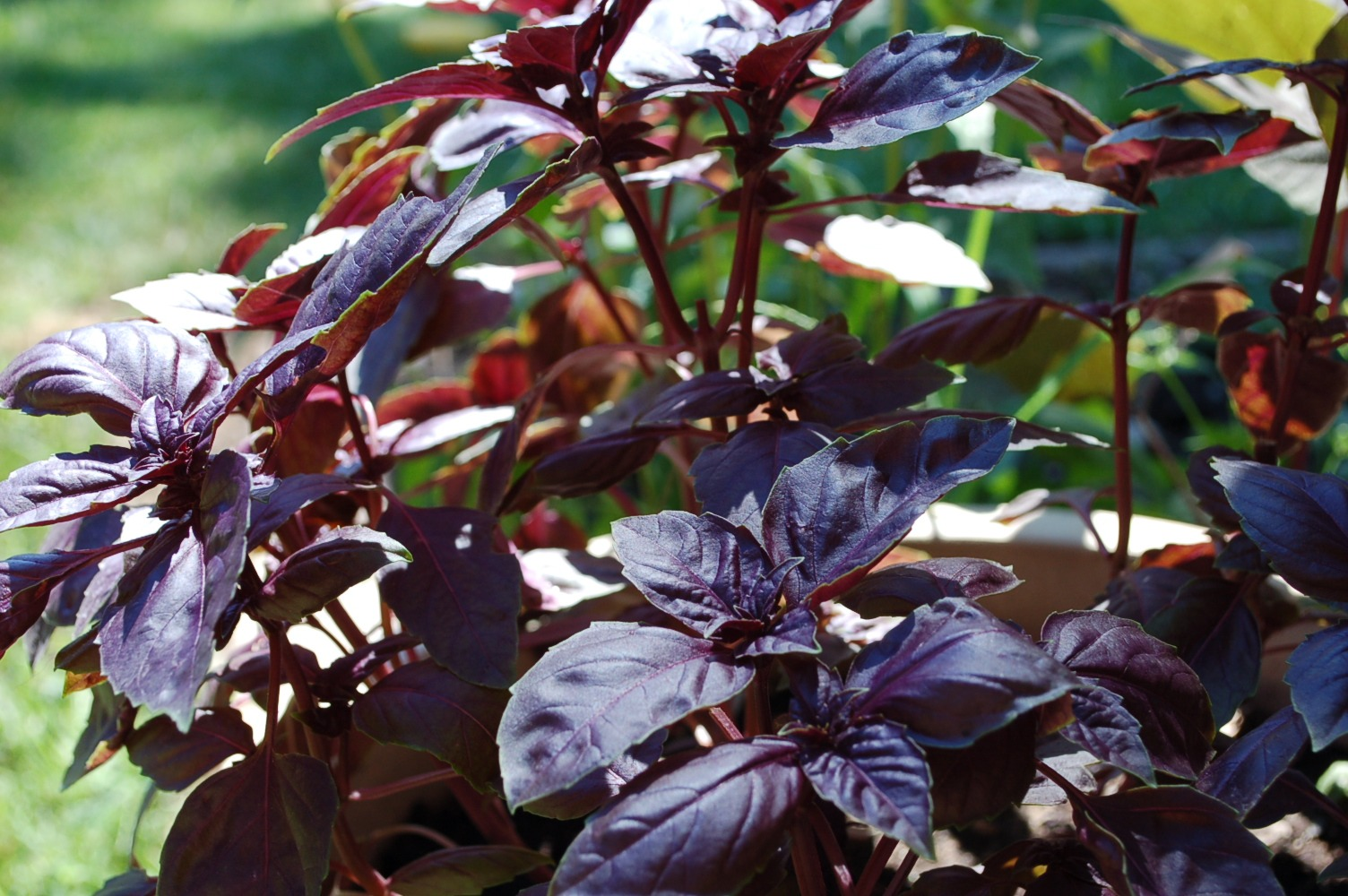 purple basil in an edible garden