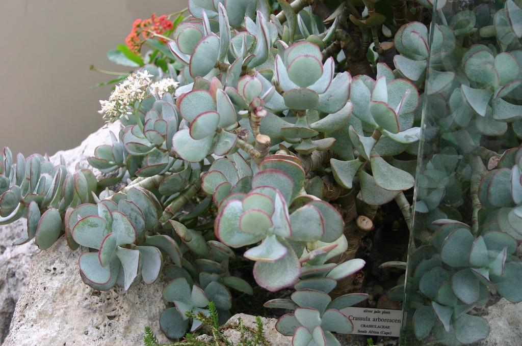 Silver jade plant