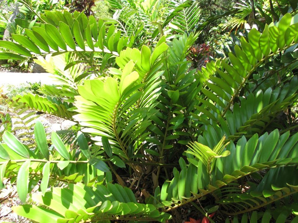 Zamioculcas Zamifolia plant