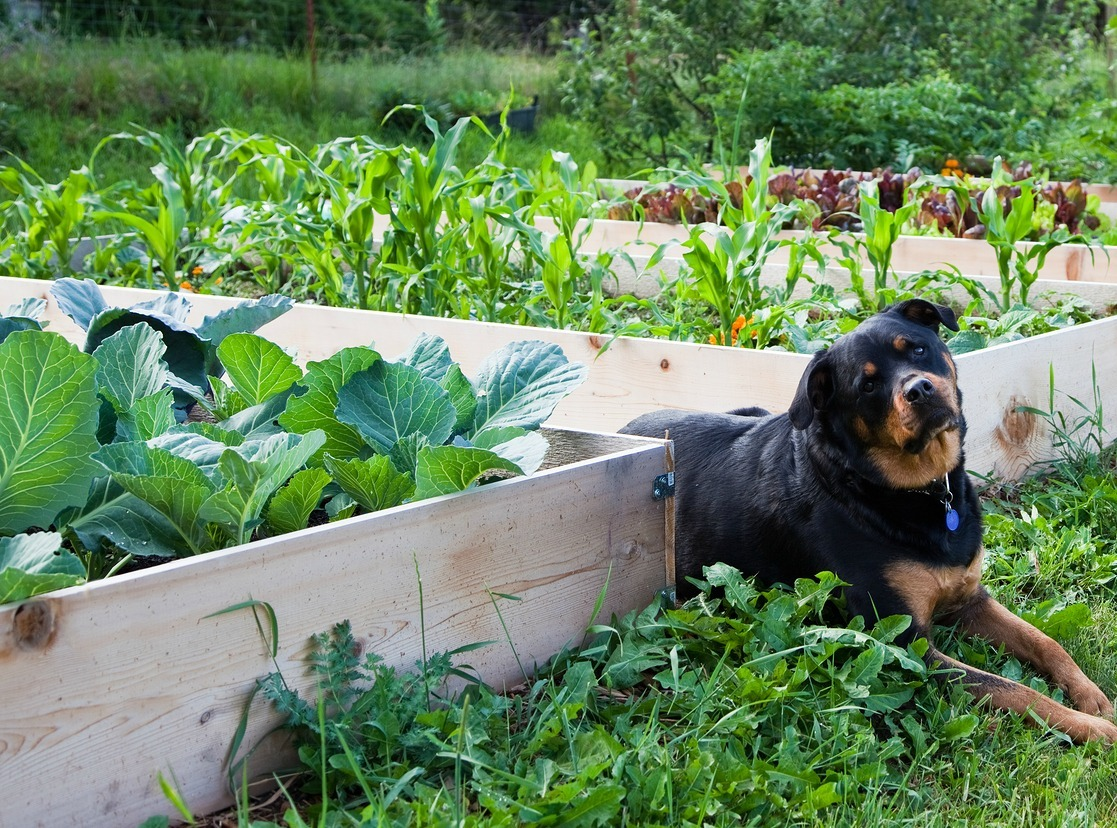 Vegetable gardening in drought