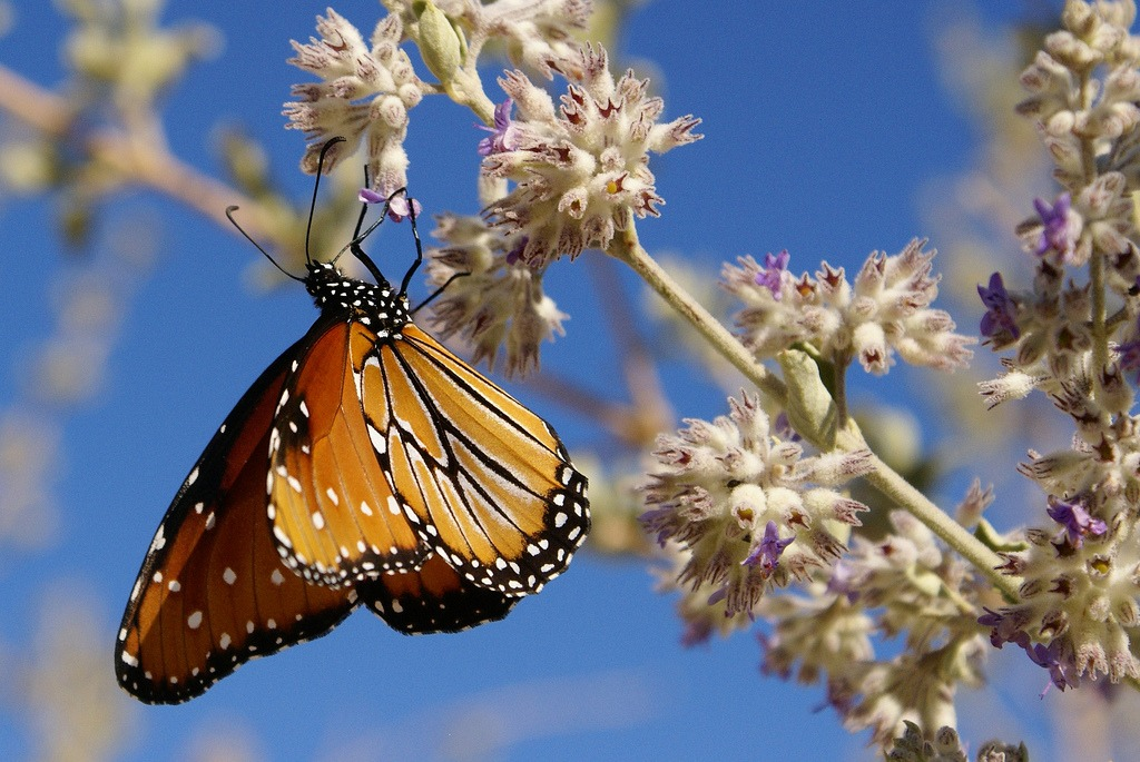 Monarch Butterfly on Desert Lavender