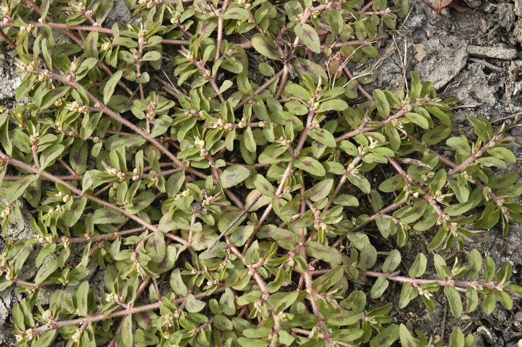 Spotted spurge is a common weed in San Diego