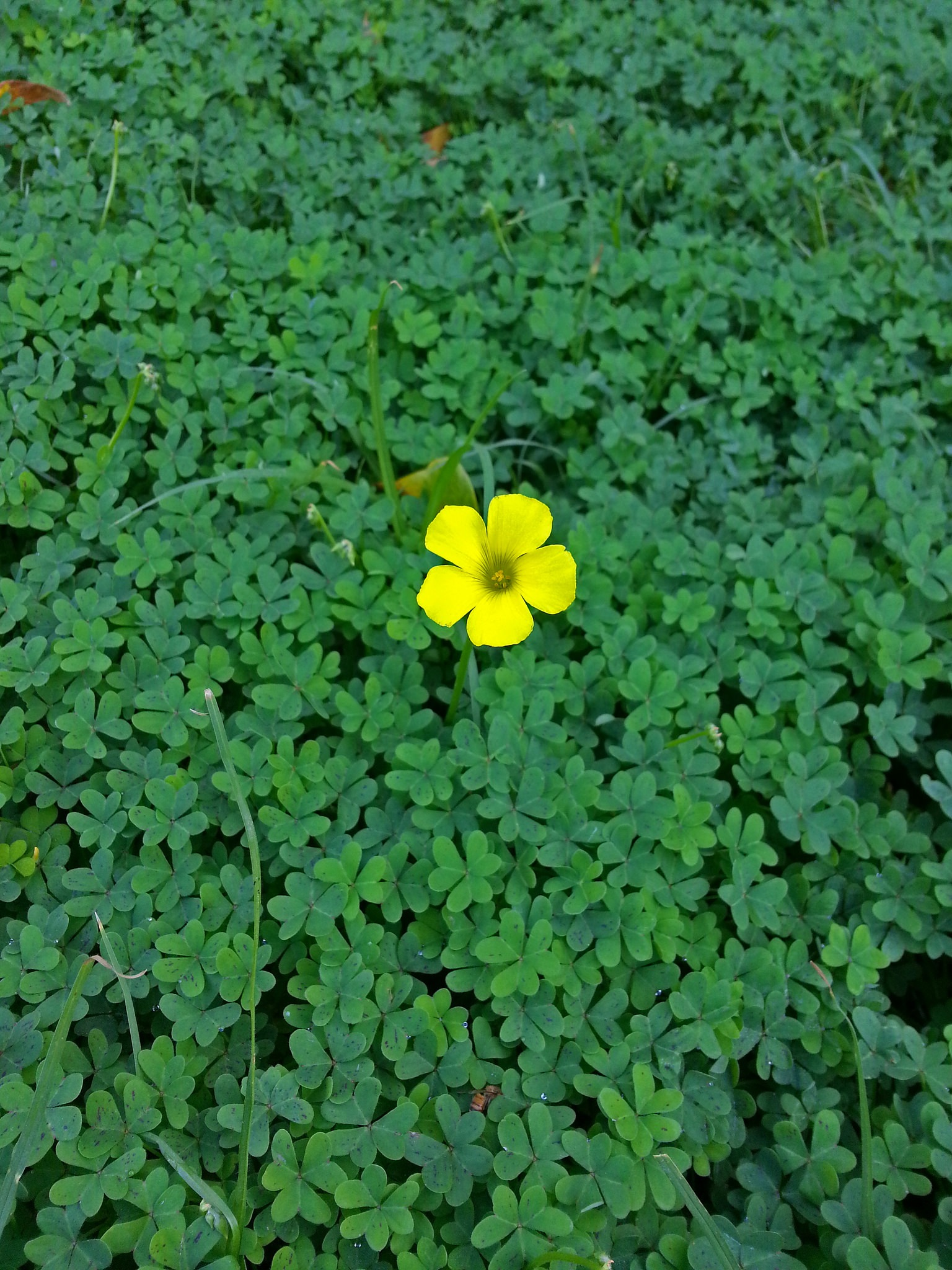 Three varieties of clover weeds are common in San Diego