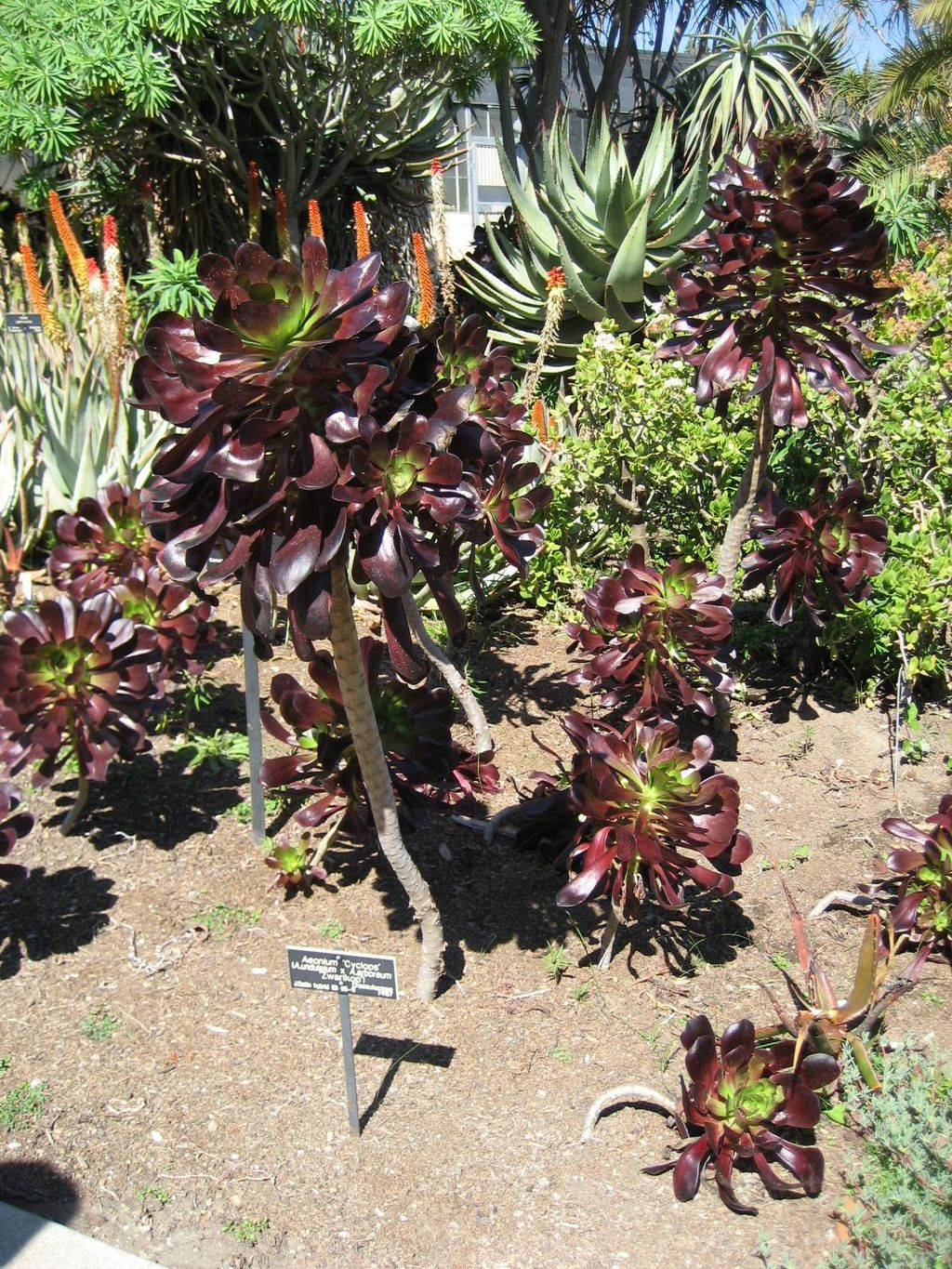 Aeonium cyclops is a showy succulent for your drought tolerant garden