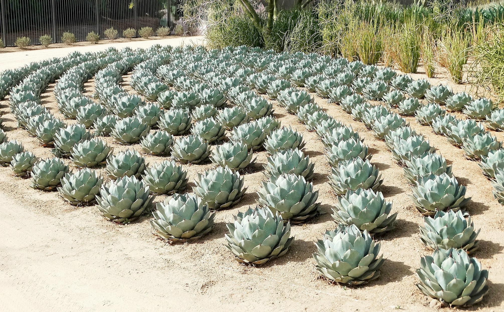 Artichoke agaves planted in a unique minimalist arrangement