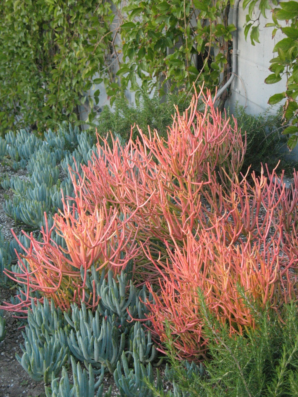 Euphorbia sticks on fire with blue senecio