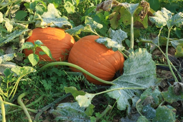 Pumpkin Vines