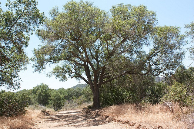 A coast live oak growing in the wild