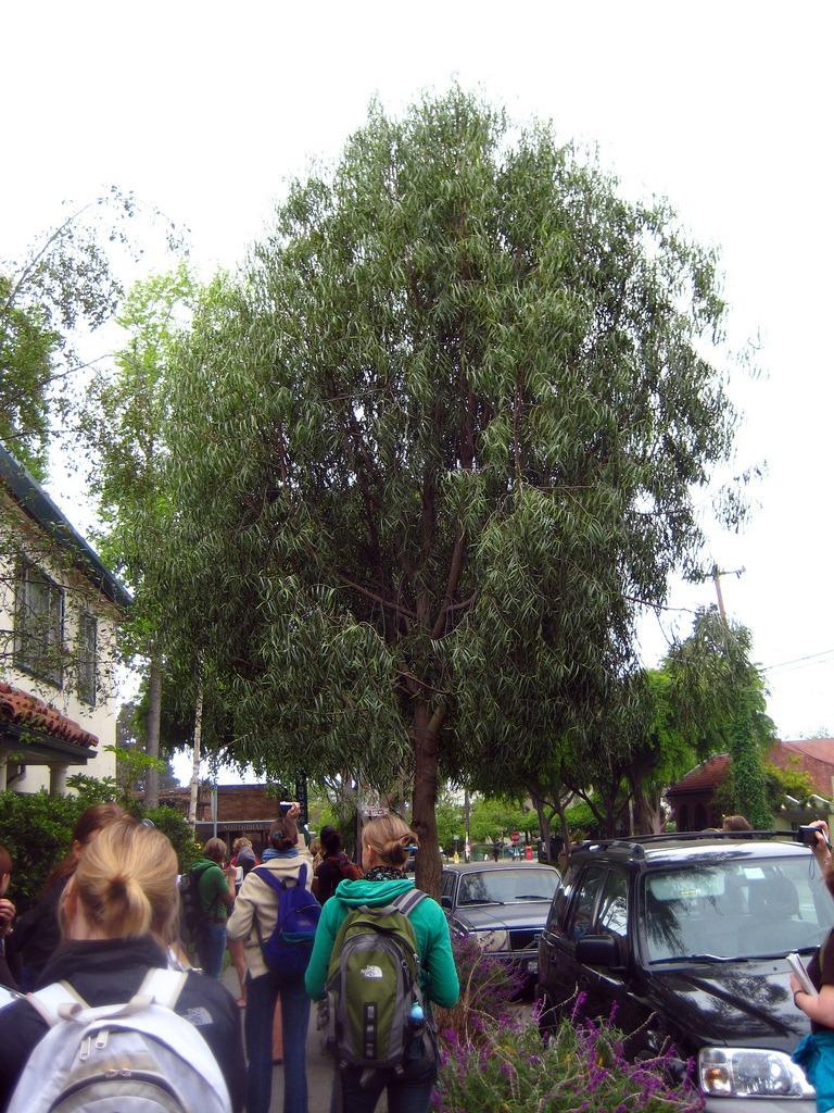 An Australian willow tree