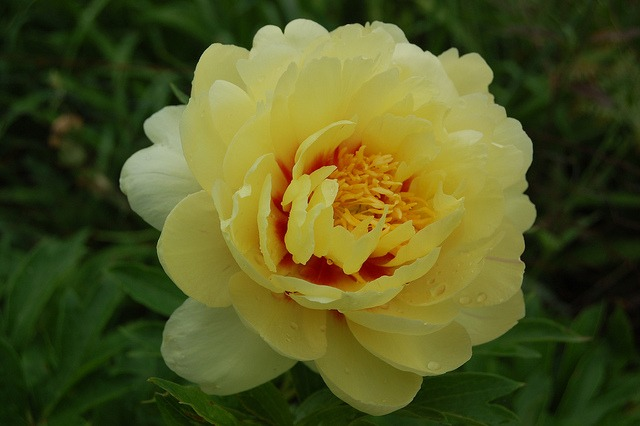 Itoh peonies grow well in San Diego