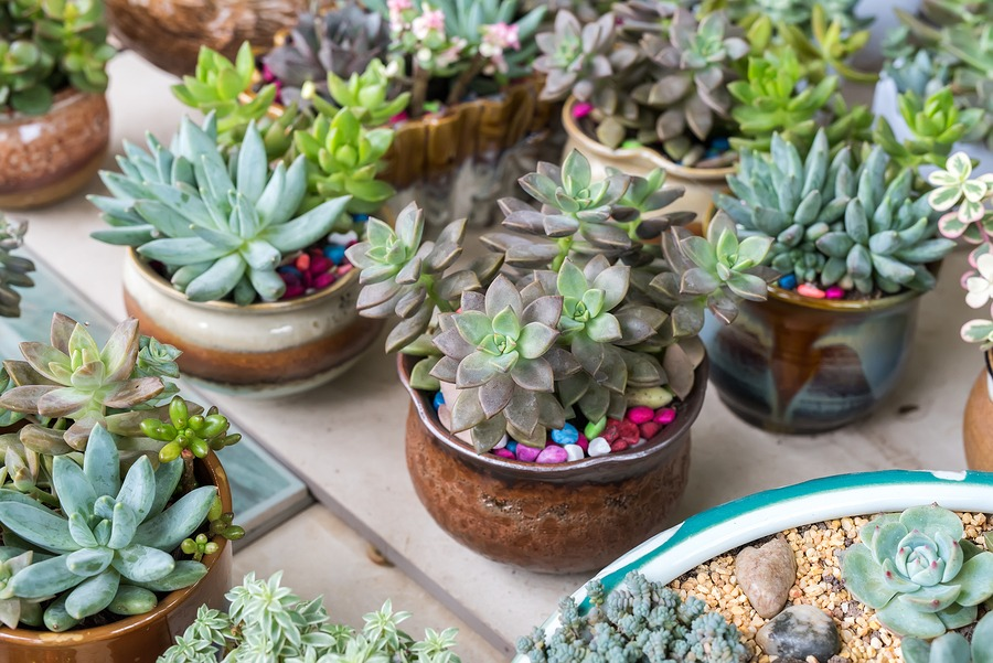 Miniature succulent plants with colored pebbles