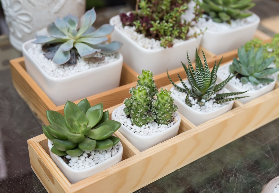 Succulents topdressed with small white rocks