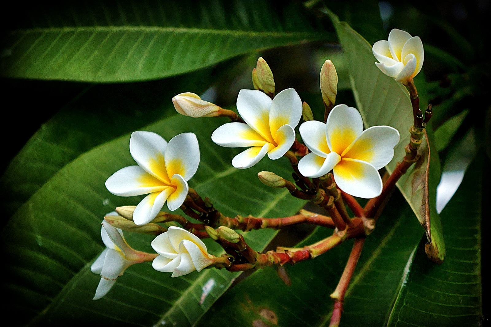 Plumeria are water wise plants for low water tropical gardens