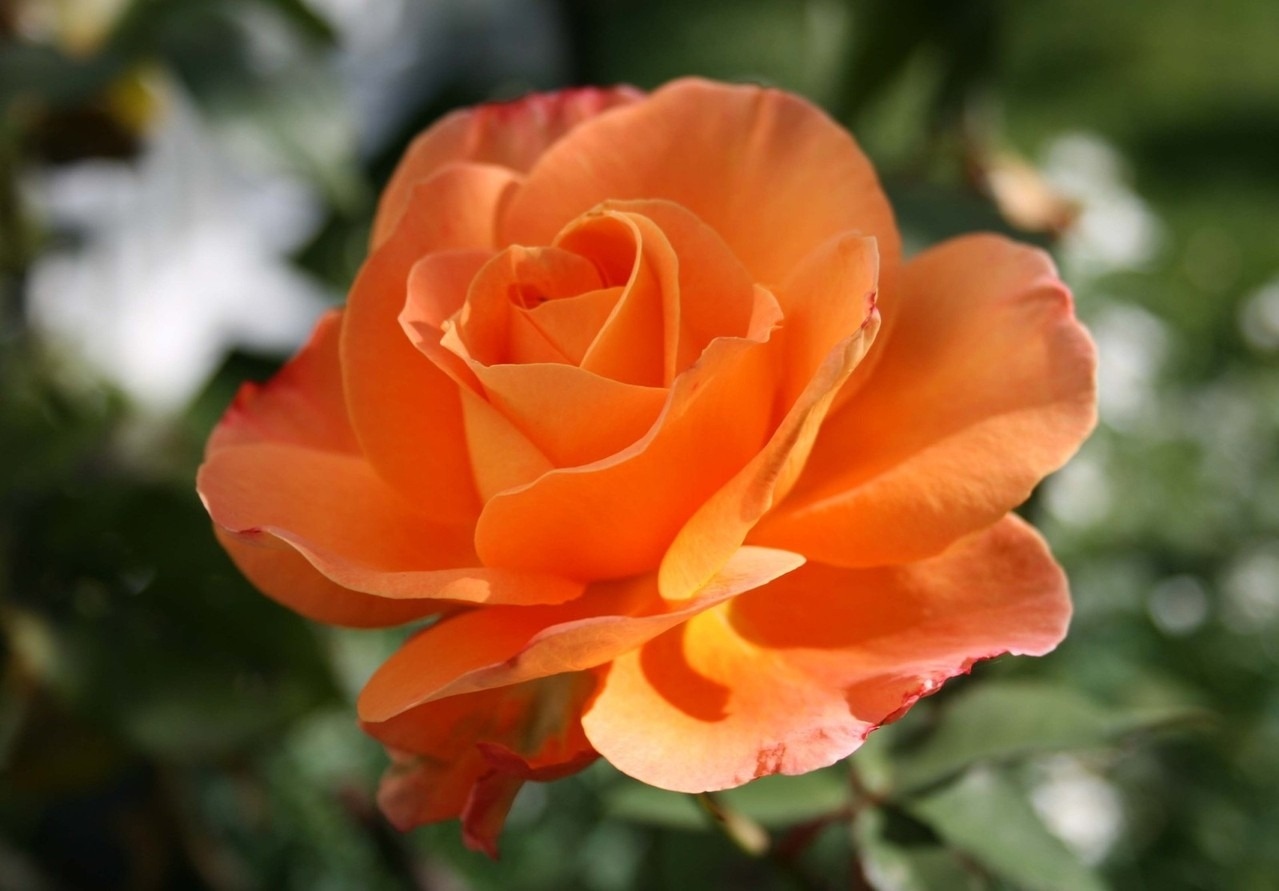 aromatherapy rose smell: Wellness retreat backyard