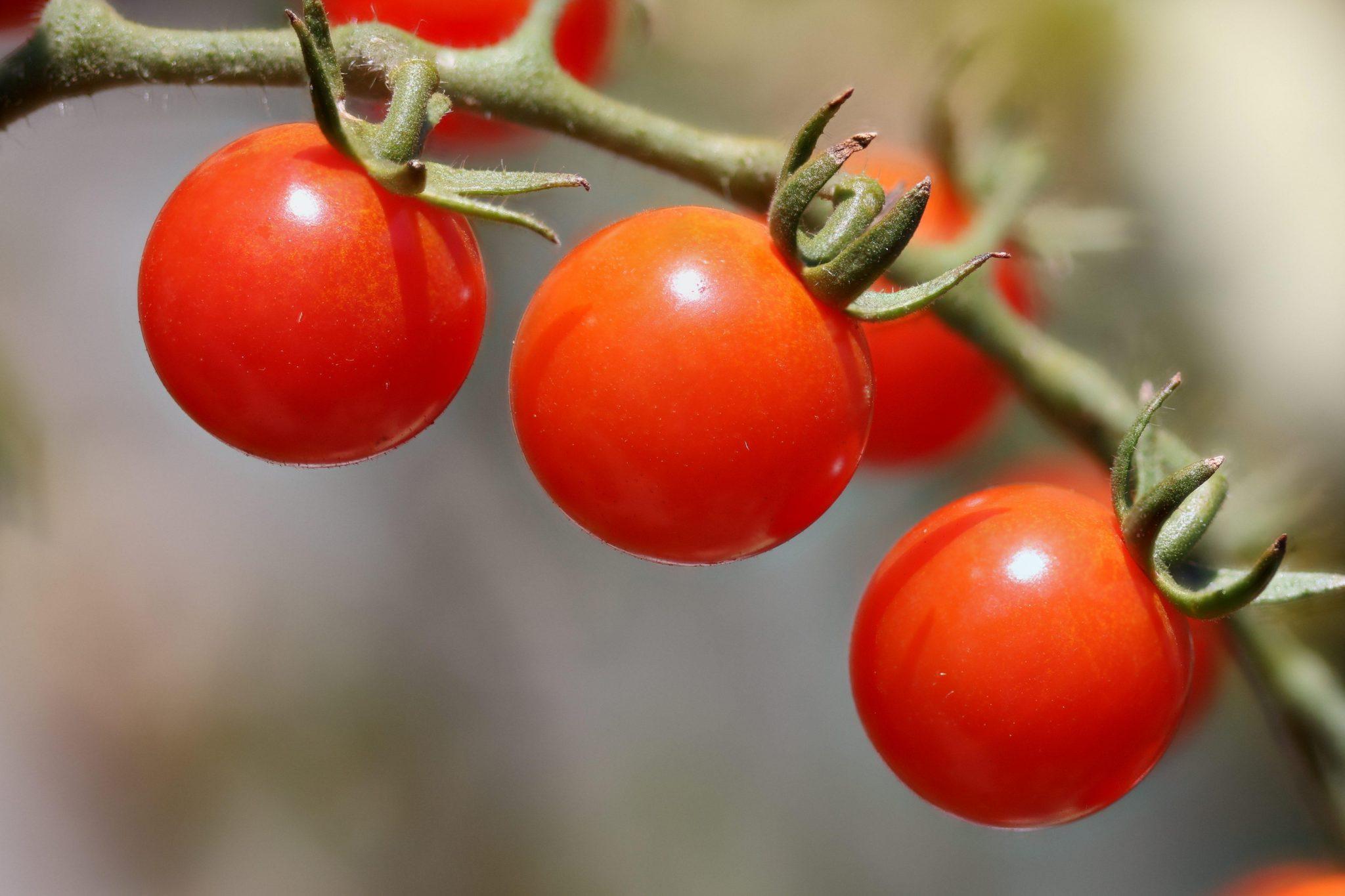 Cherry Tomatoes Vegetable Garden