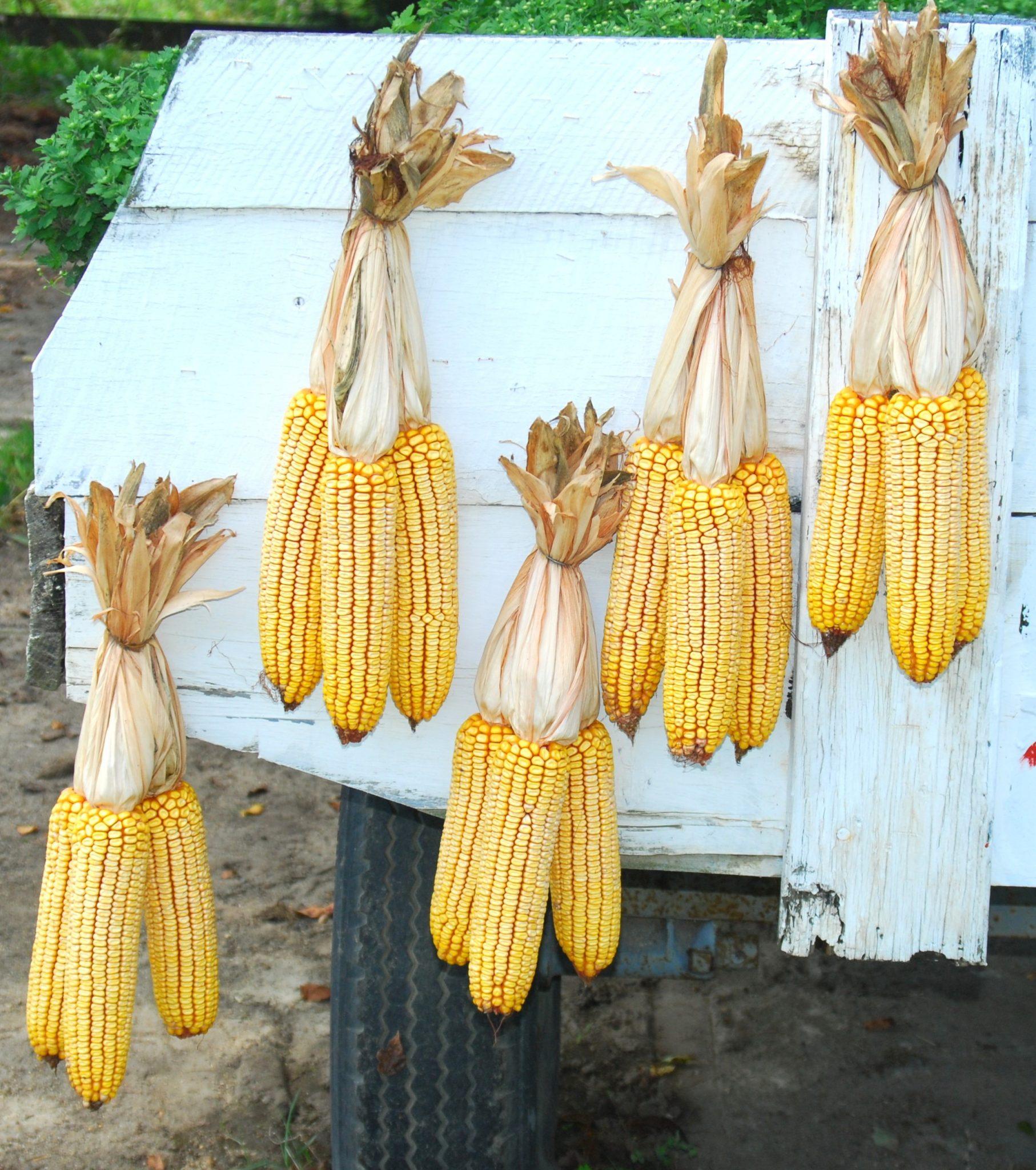 drying corn