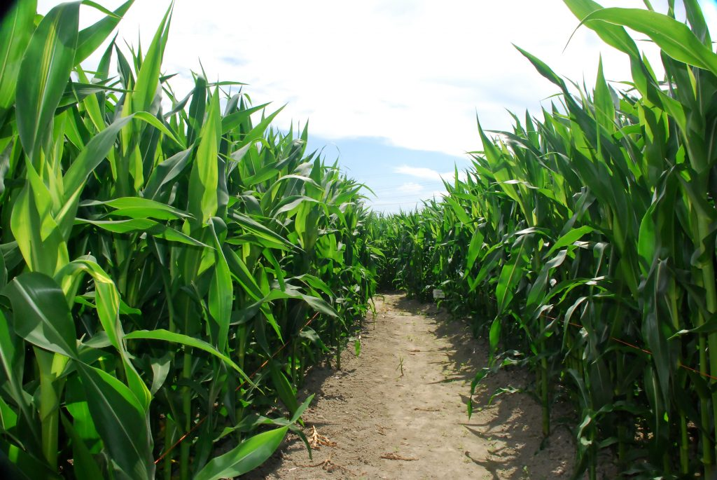 how to grown corn in your backyard