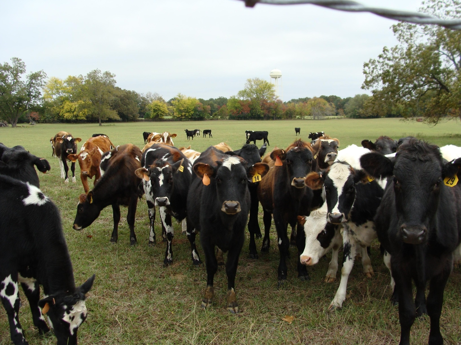 Cow Manure Makes Great Free Fertilizer