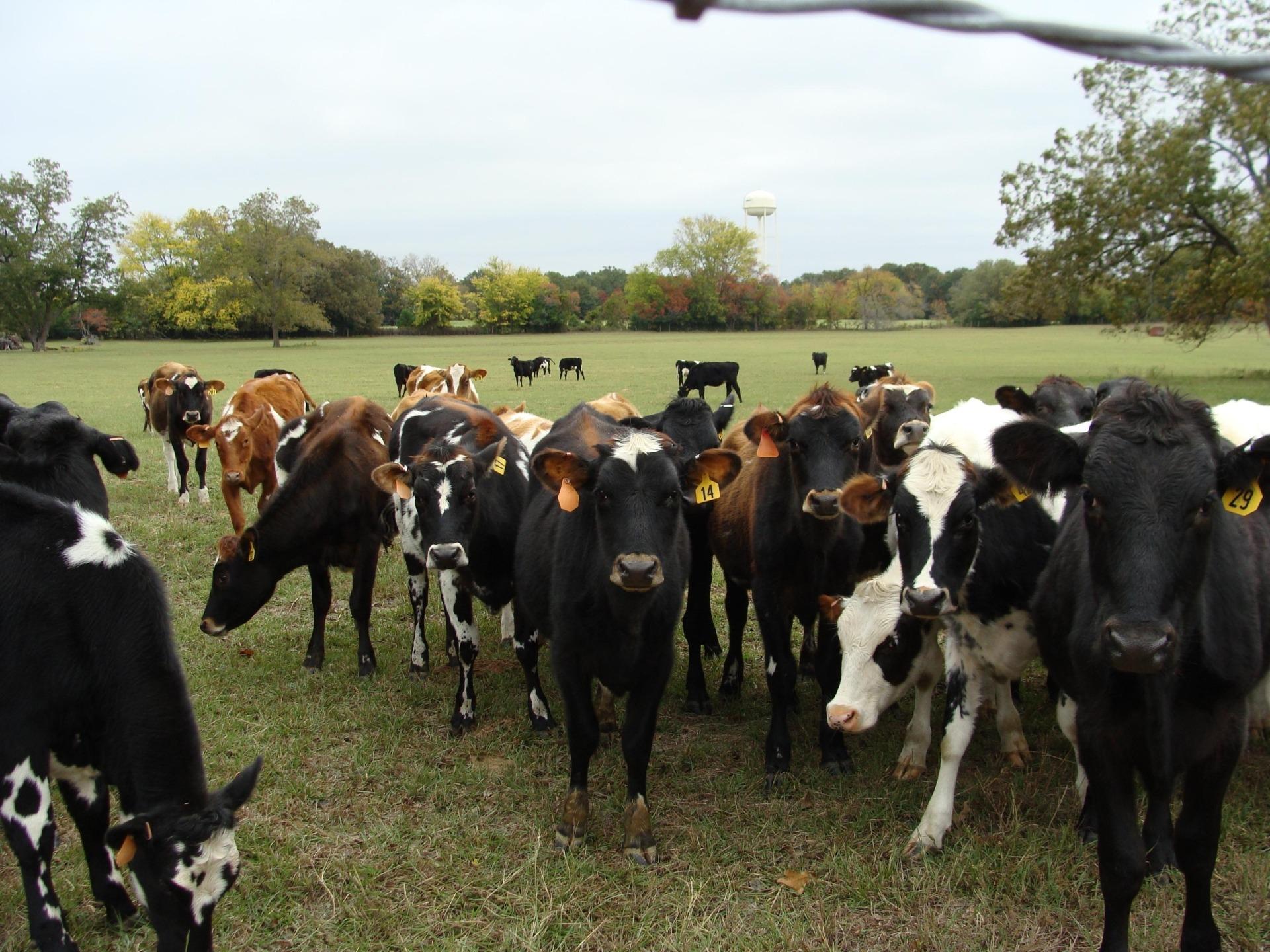 Cow Manure Makes Great Free Fertilizer