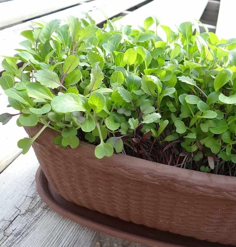 Microgreens in Container