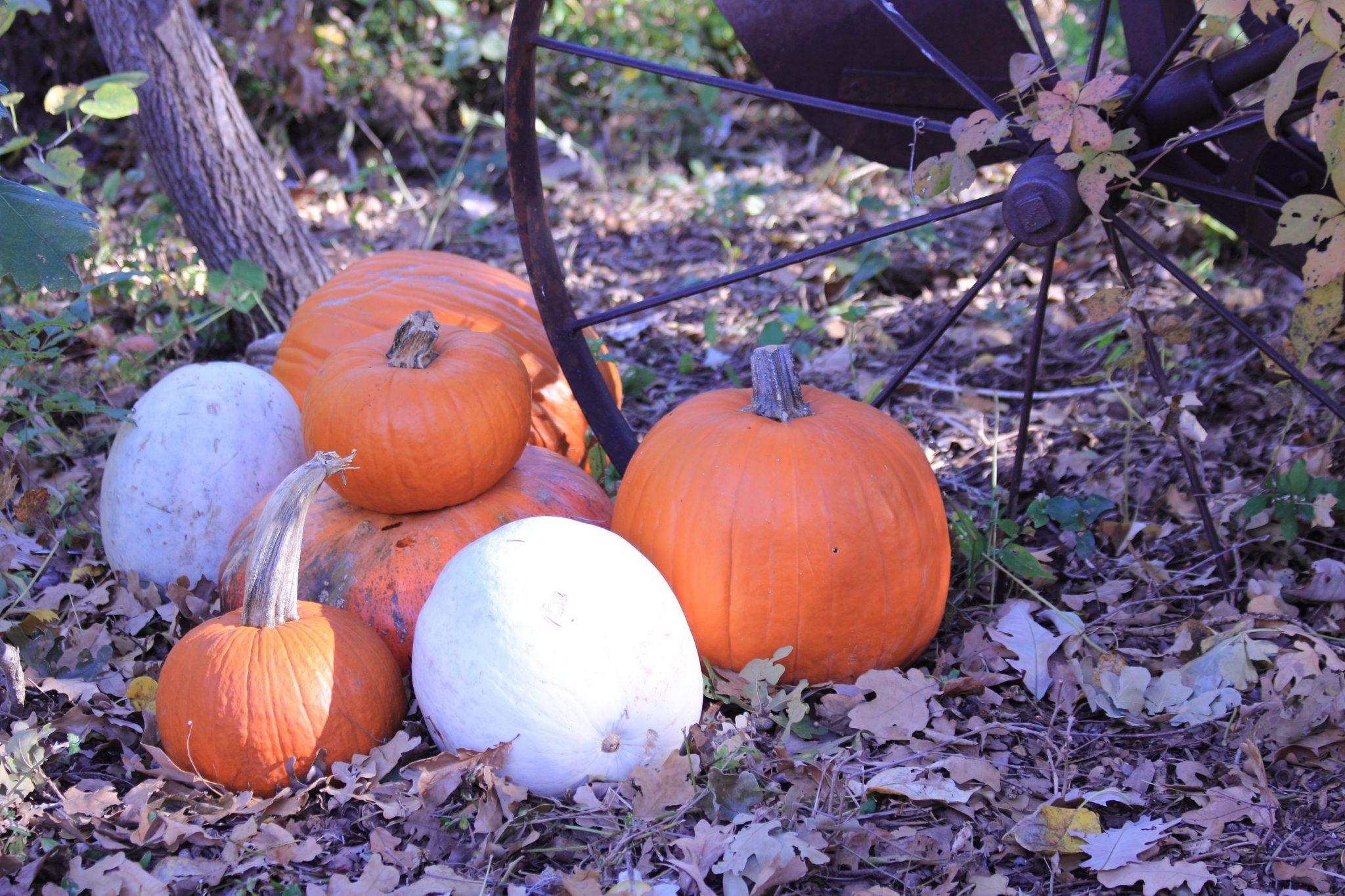 White Pumpkins and Orange Pumpkins