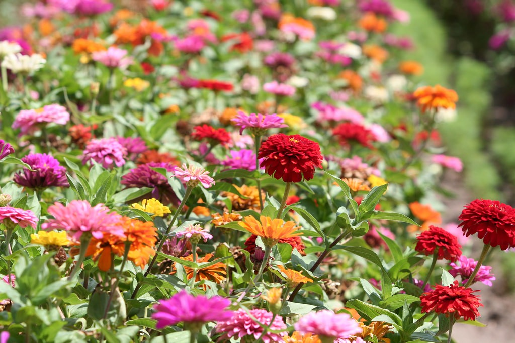 summer annuals for Southern California