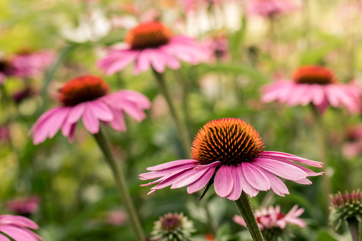 Drought-Tolerant Herbs for Southern California Gardens Echinacea