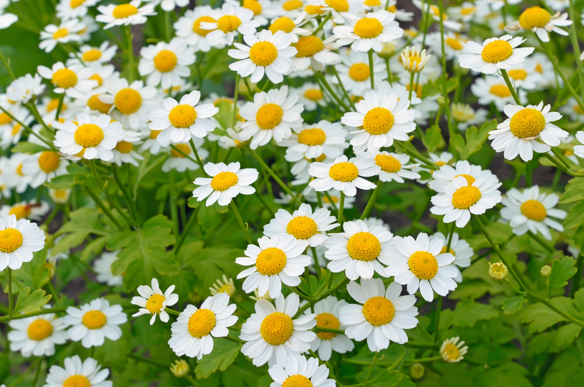 Drought-Tolerant Herbs for Southern California Gardens Feverfew