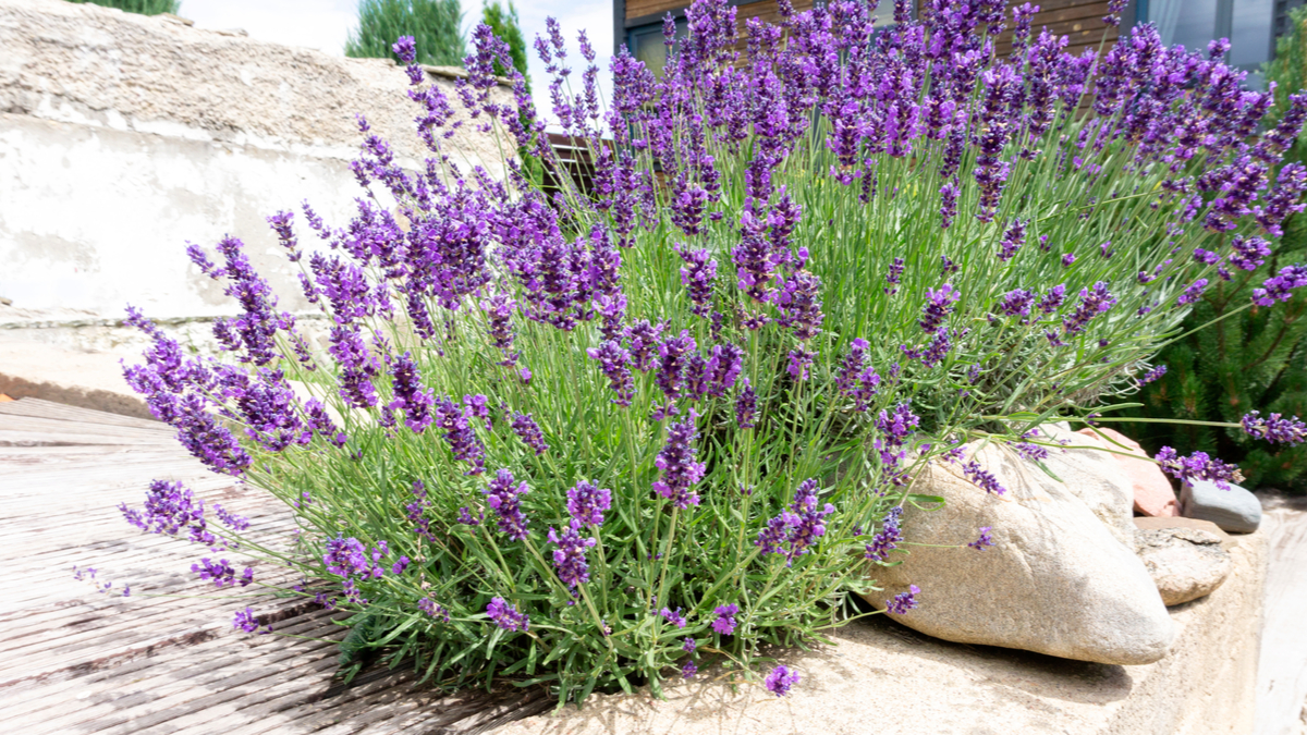 Drought-Tolerant Herbs for Southern California Gardens Lavender
