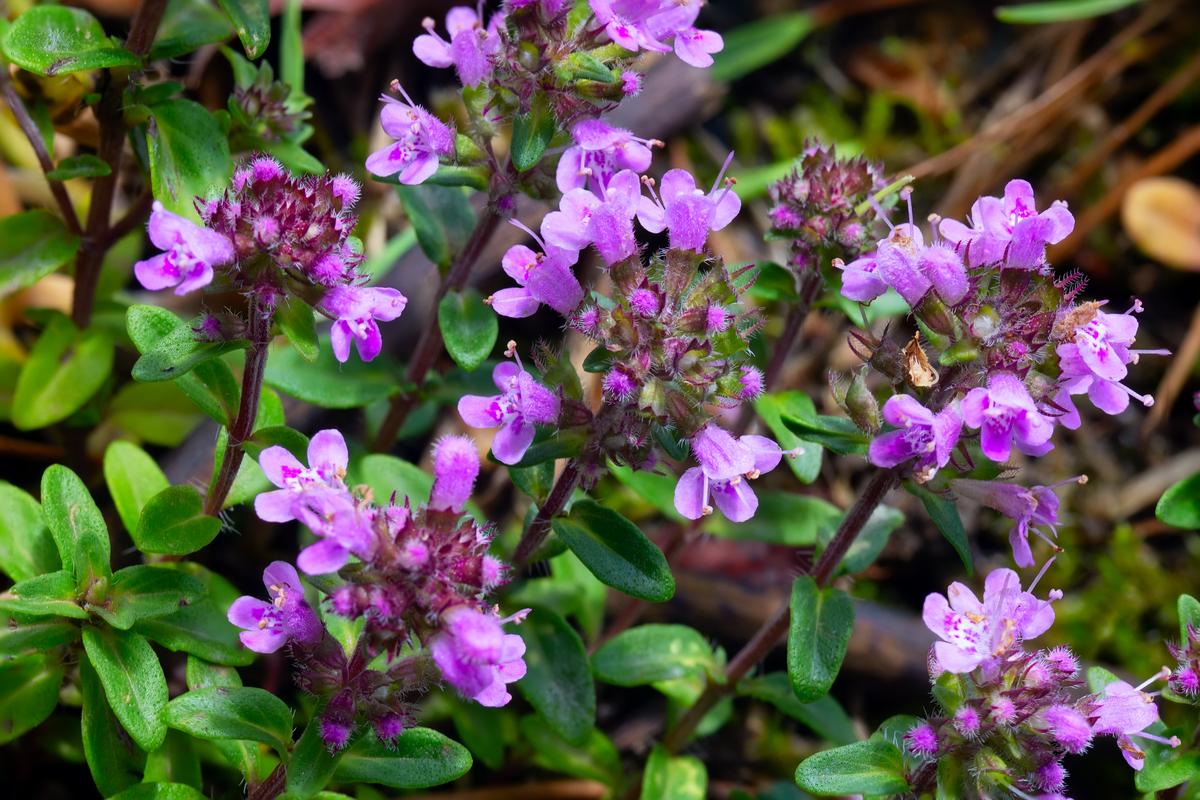 Drought-Tolerant Herbs for Southern California Gardensn Thyme