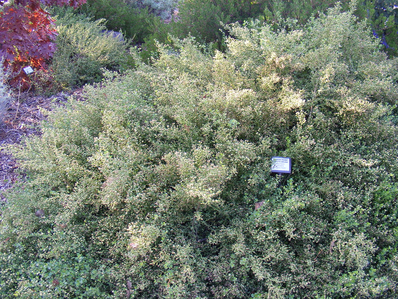 Coyote Brush Chaparral Privacy Hedges That Ar...