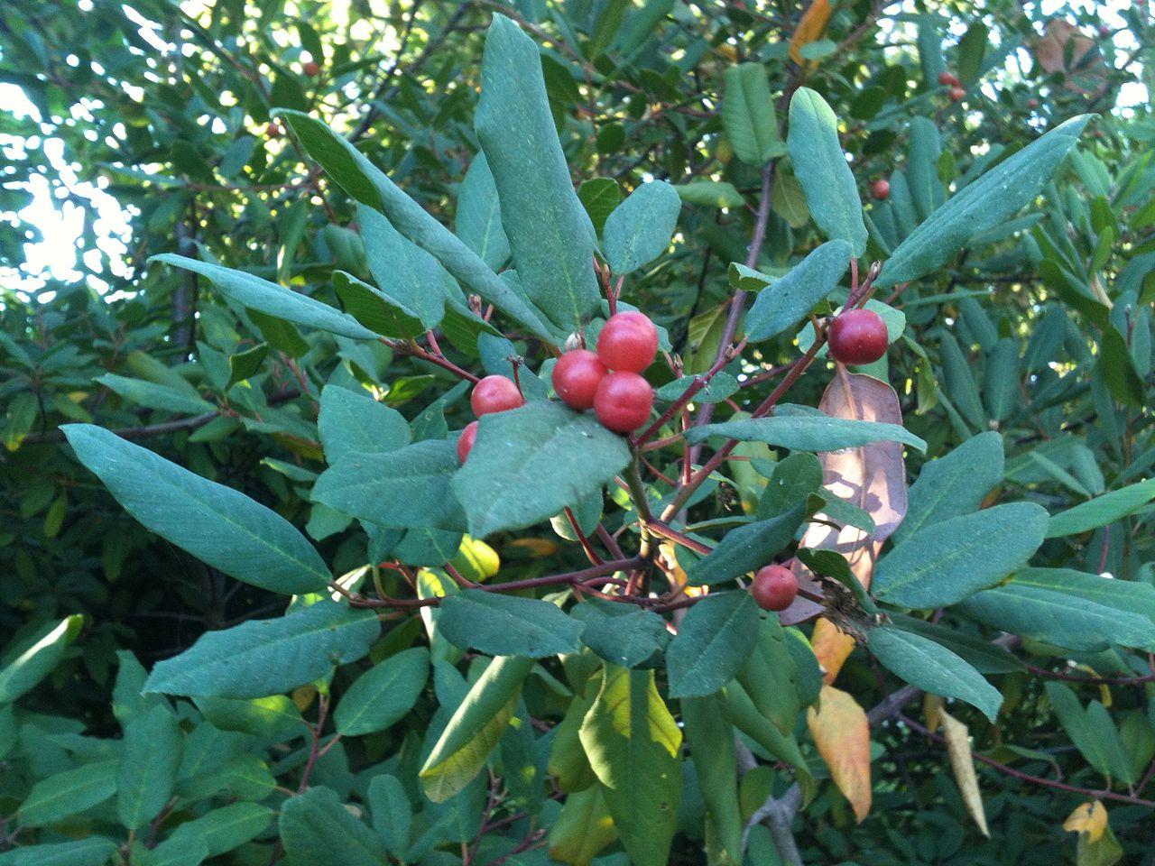 California Buckthorn