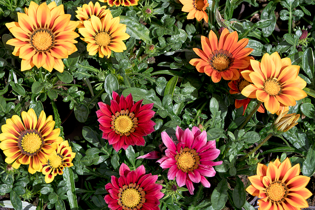 Drought-Tolerant Ground Covers Tips
