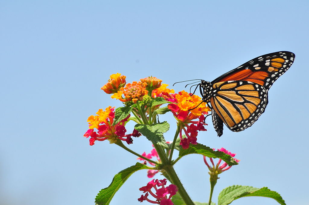 Lantana with Butterfly