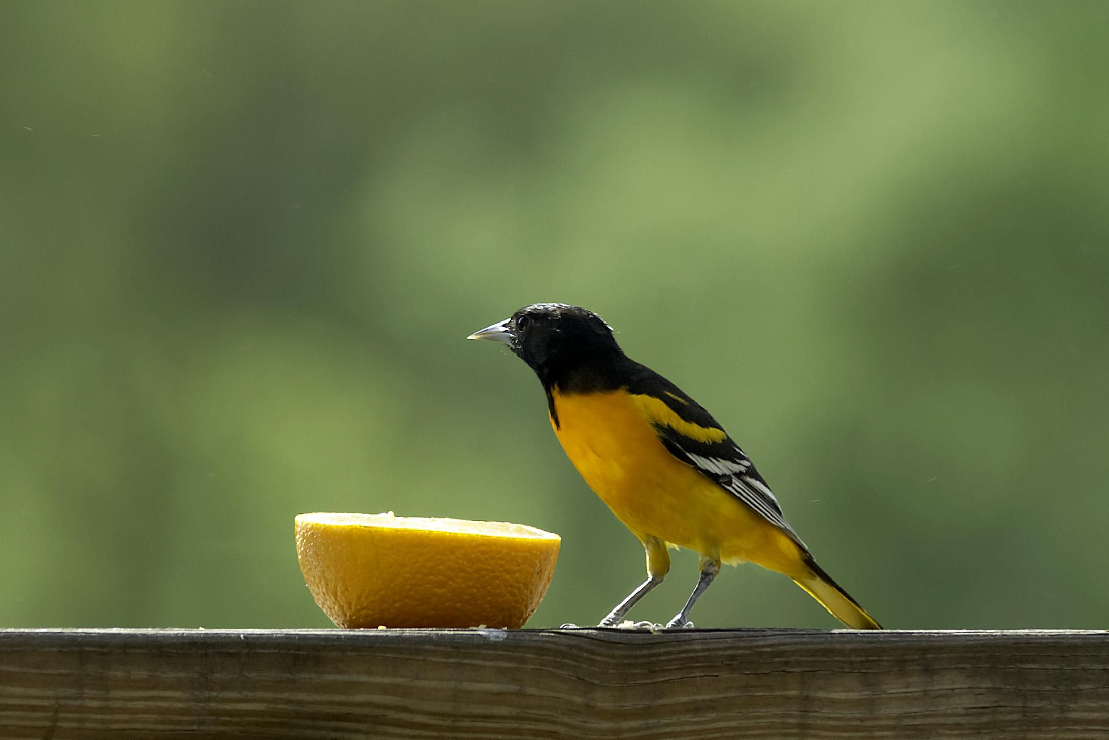 Identify Birds with Audubon App