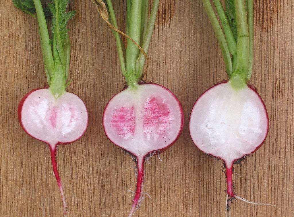 How to Grow Radishes