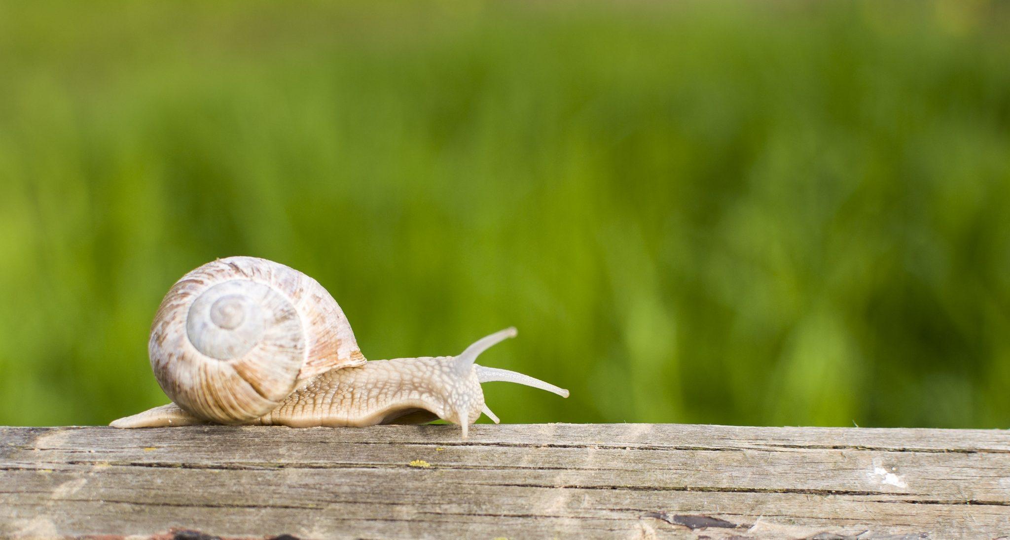 garden snails