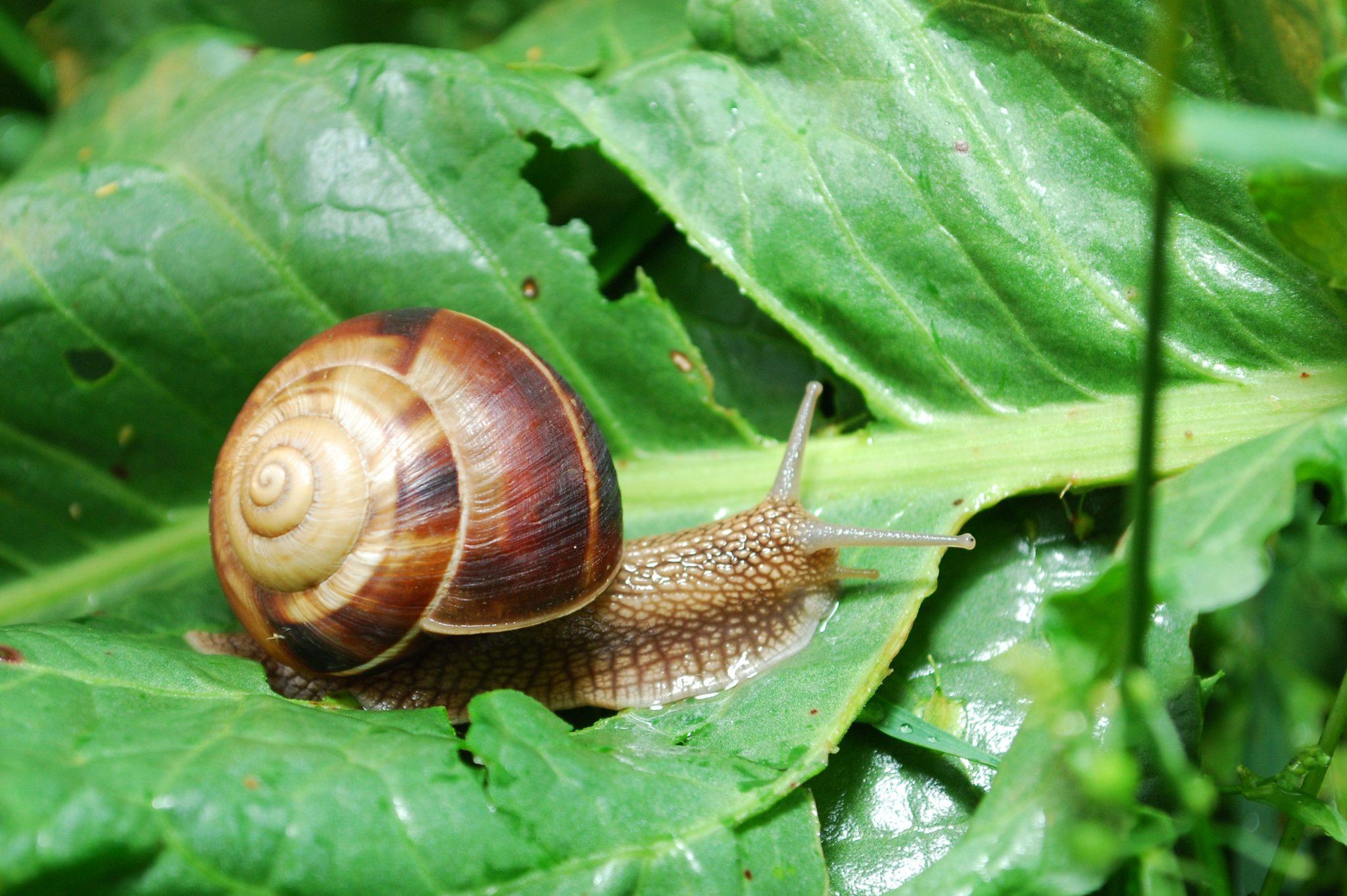 snails in garden
