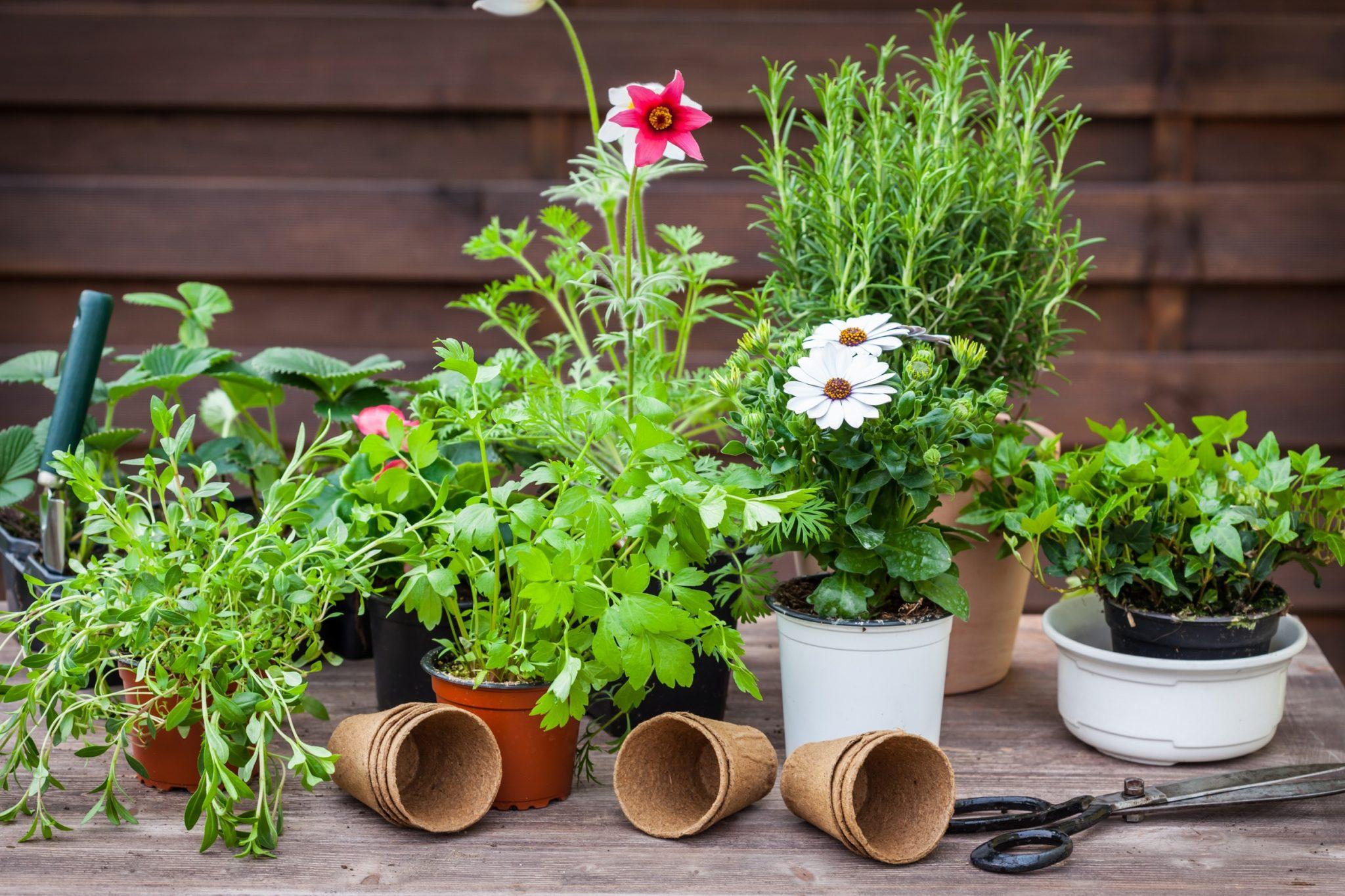 Ornamental Herbs