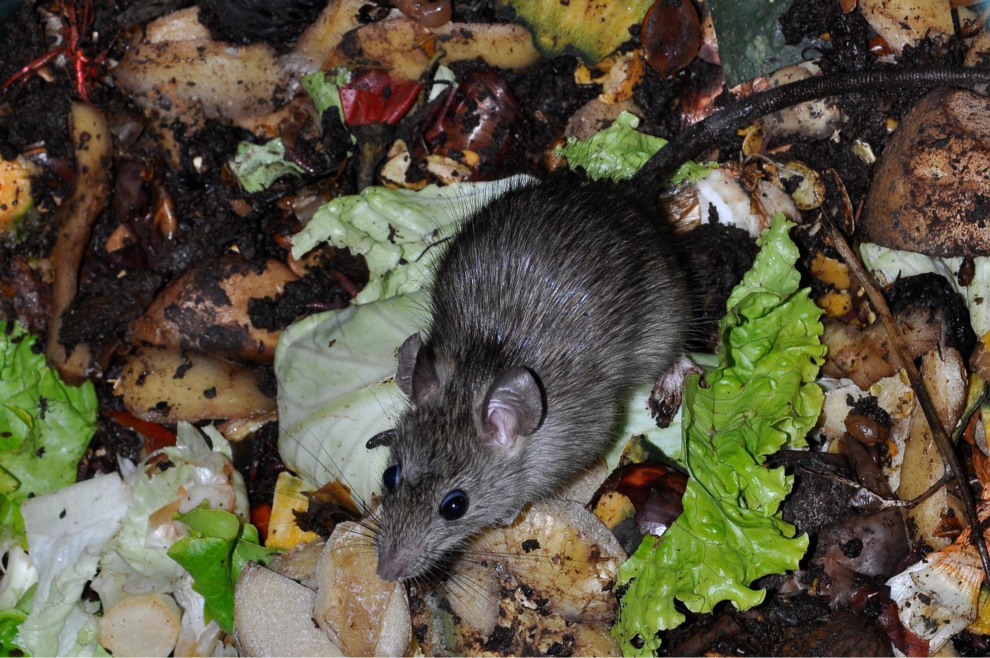 Outdoor Rat Repellent