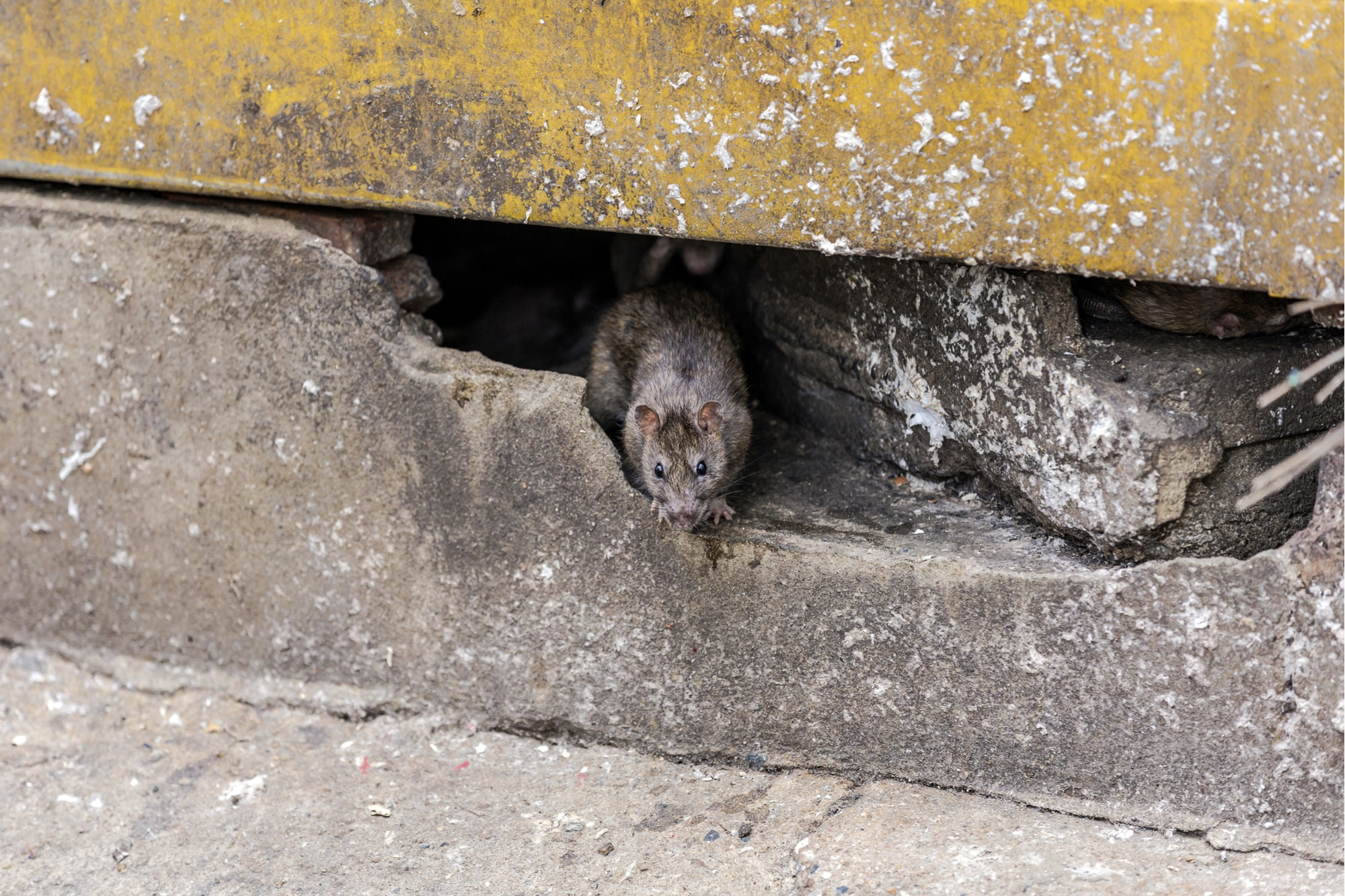 Rat Repellent. 3. Clean Your Yard. The Next Step In Removing ...