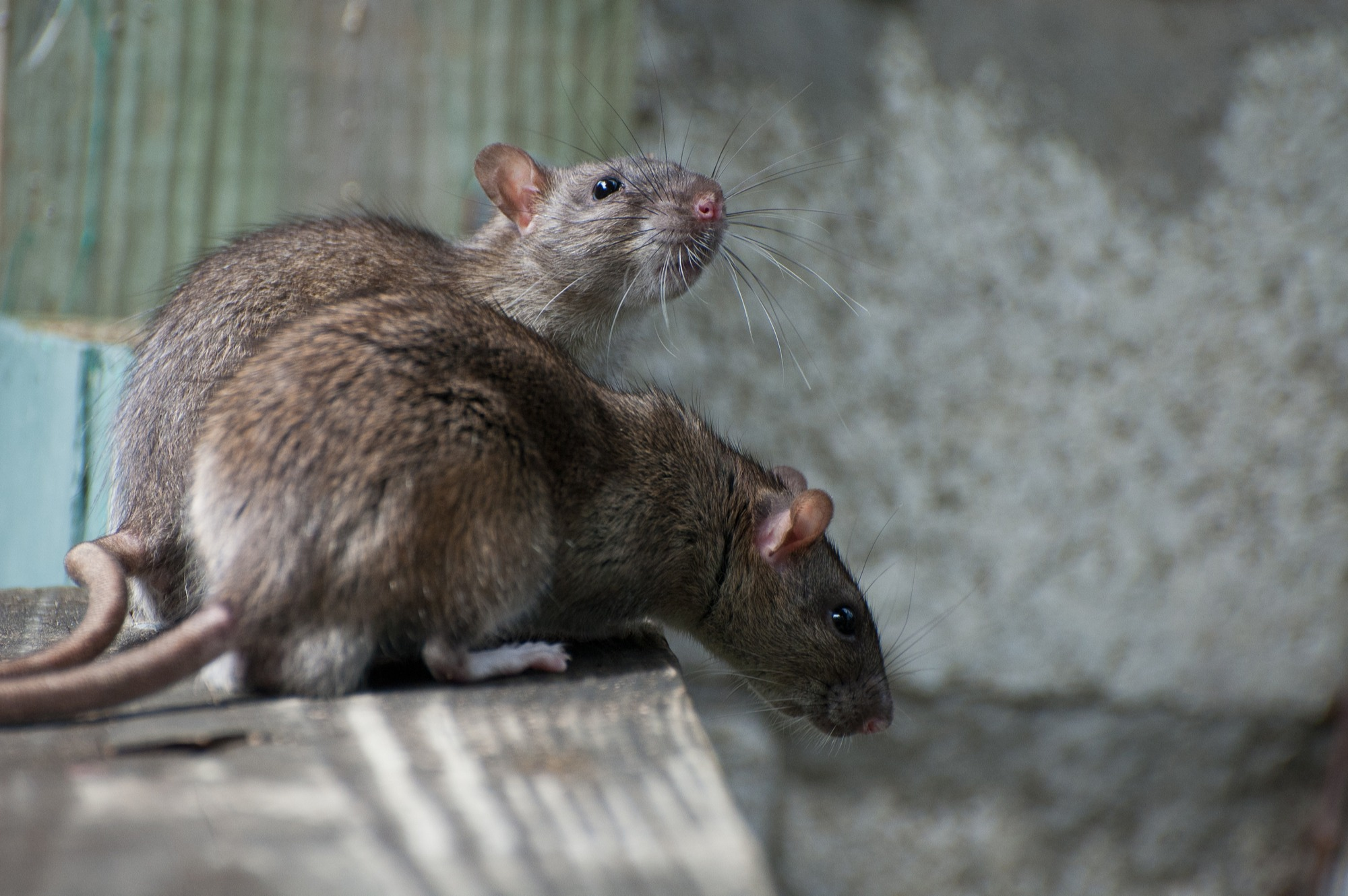 Rat guide