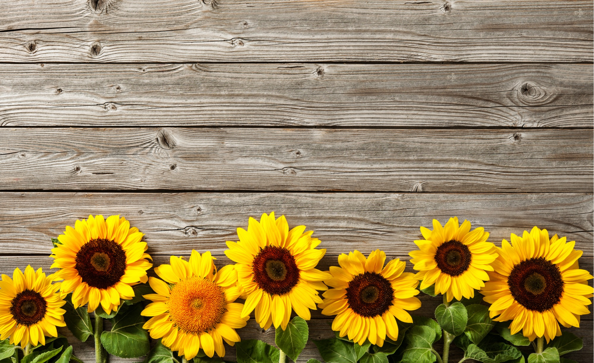Grow Sunflowers