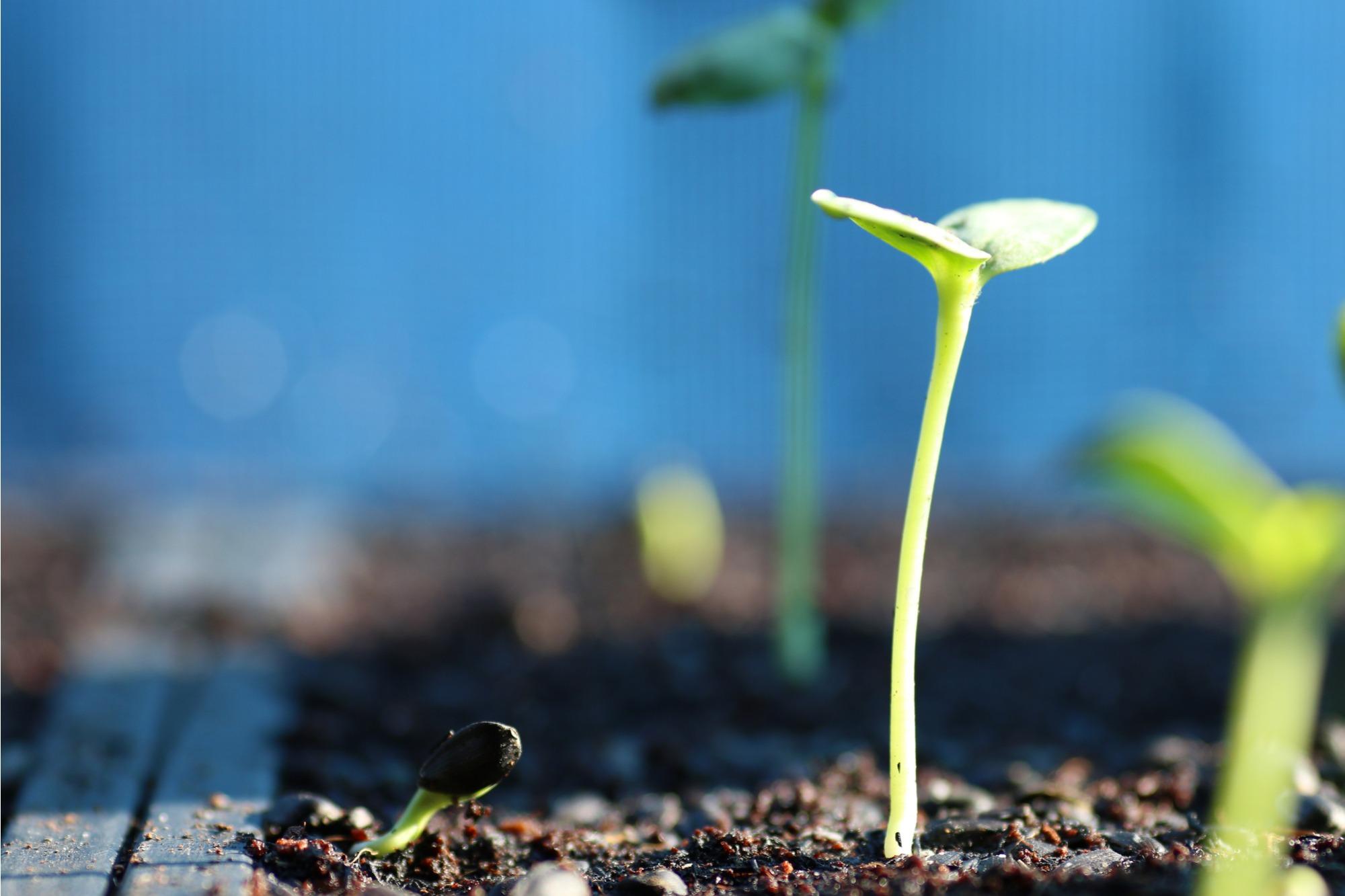 How to Grow Sunflowers Tips