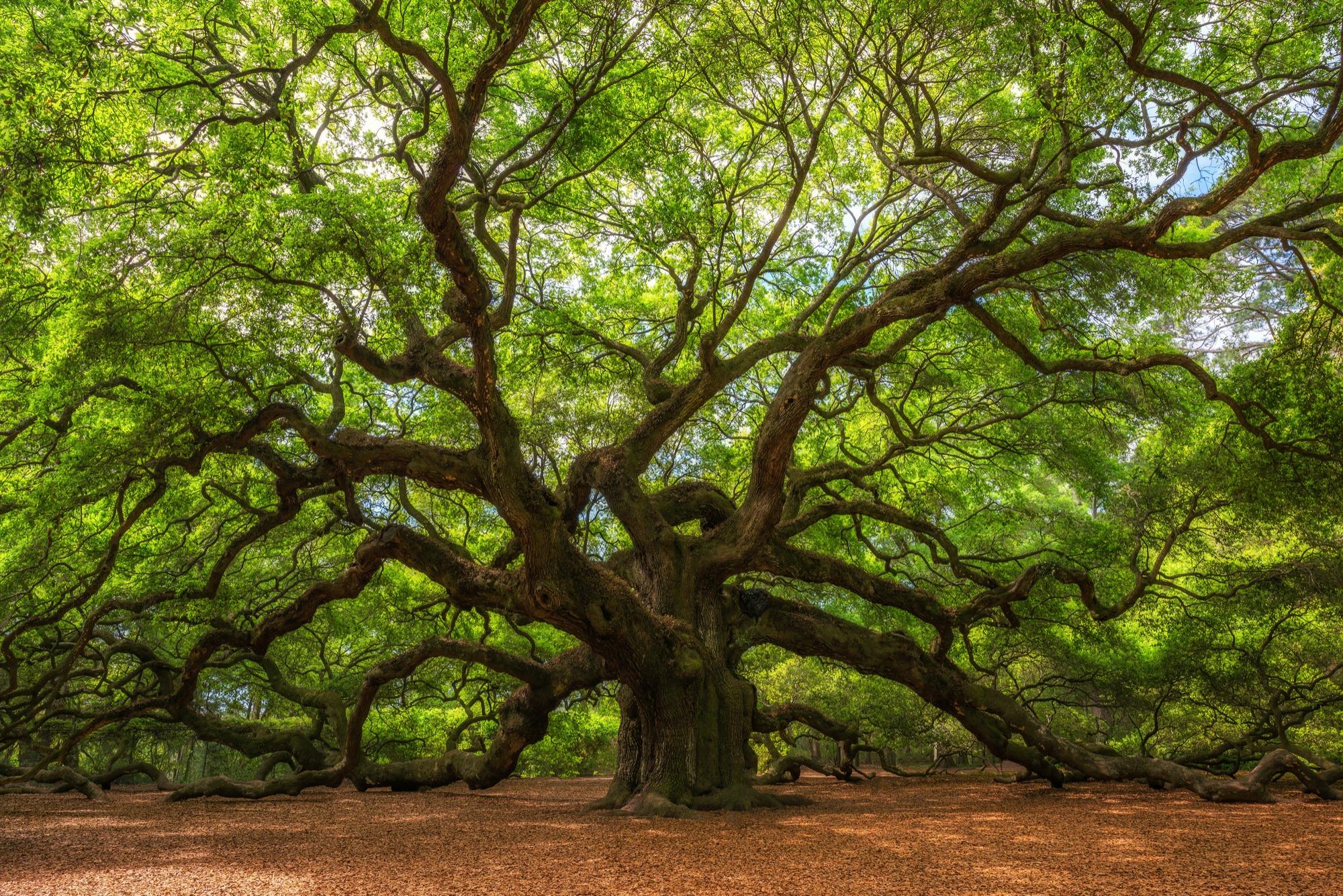Can I Install Artificial Grass Under Oak Trees
