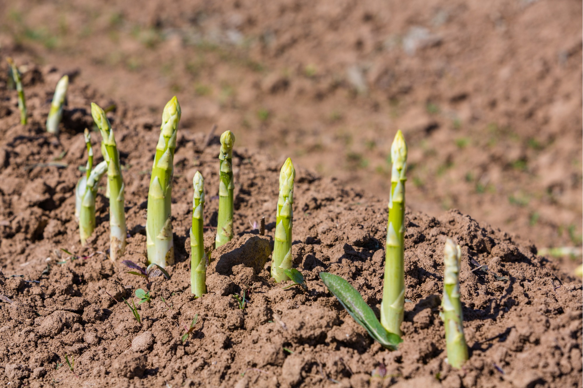 Growing Asparagus Tips