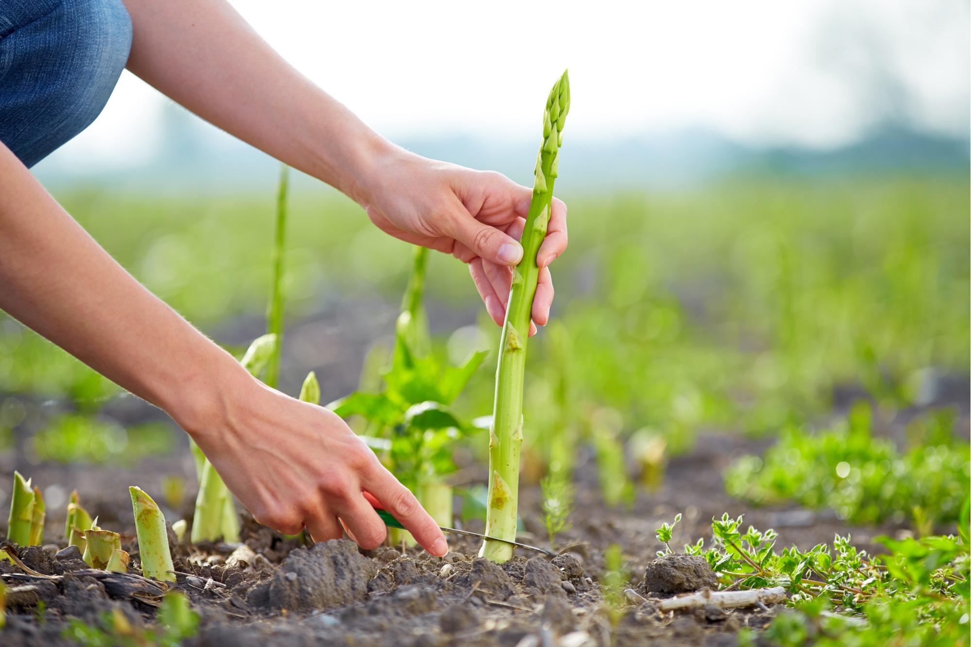 How to Grow Asparagus San Diego